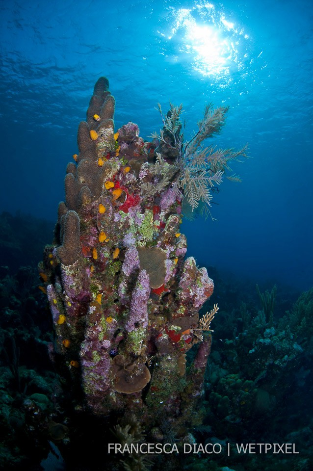 Encrusted Pillar Coral (*Dendrogyra cylindrus*) stands above the rest at the top of Half Moon Bay Wall on the north side of the island.