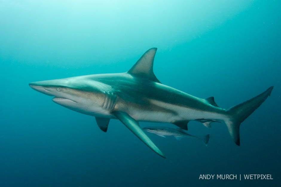 Blacktip Shark, *Carcharhinus limbatus*, Aliwal Shoal, Umkomaas, South Africa, Indian Ocean.