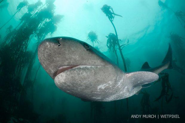 Broadnose sevengill shark 089