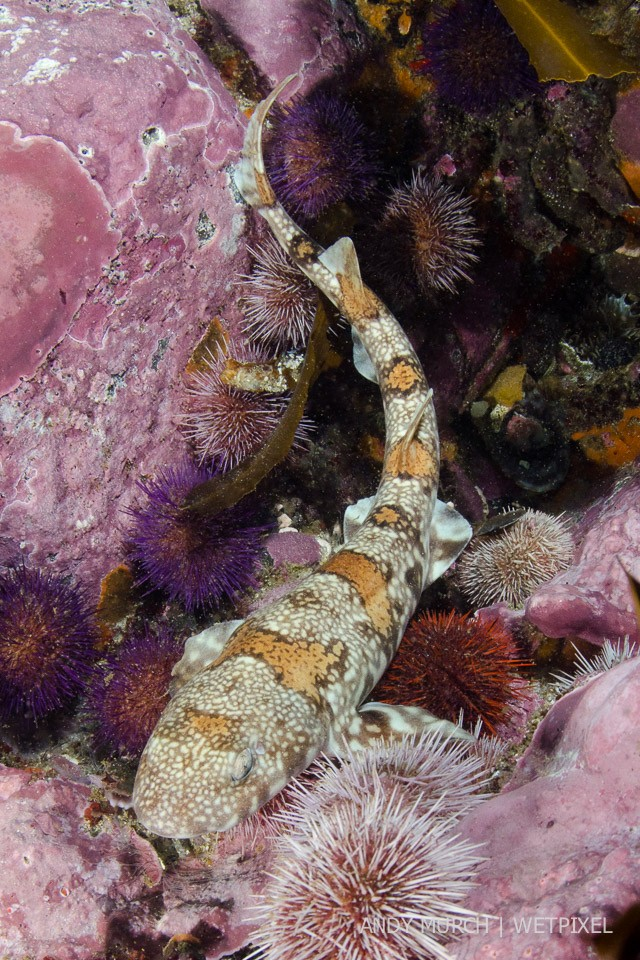 Puffadder Shyshark, *Haploblepharus edwardsii*, Simon's Town, Cape Town, Cape Province, South Africa.