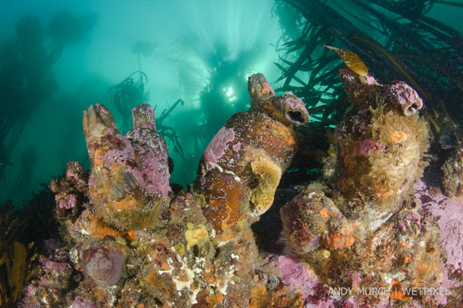 Huge leathery tunicates cement themselves to the surge swept tops of the rocks at Boulders Beach. Simon's Town False Bay, South Africa.