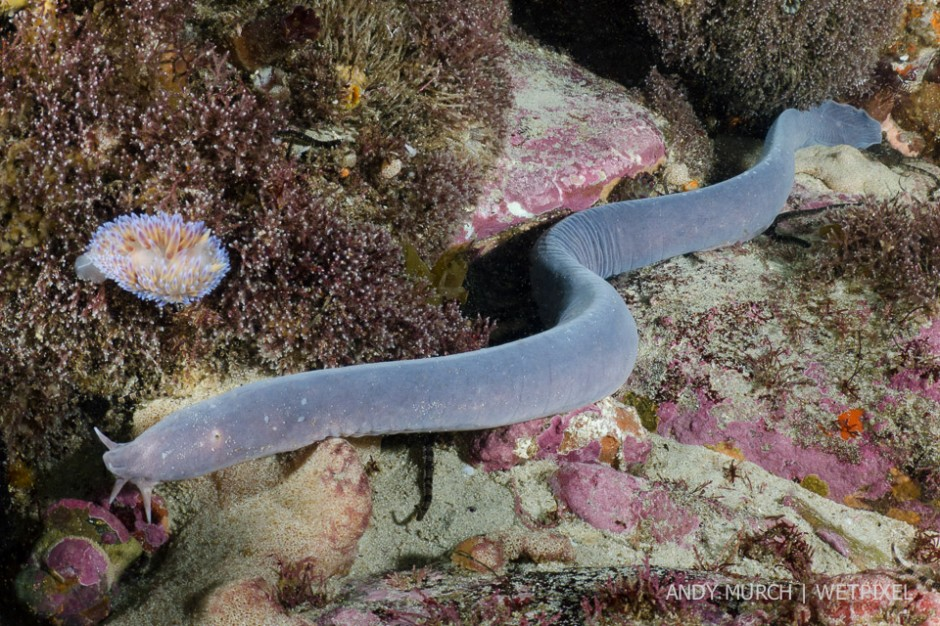 South African Hagfish (*Myxine capensis*) - one more example of the sheer uniqueness of this region.