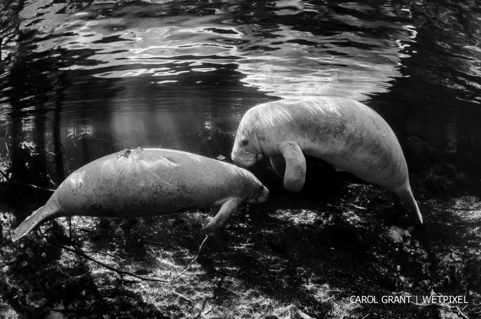 Manatees in black and white.