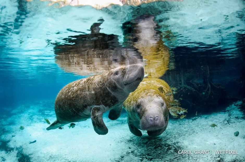 Manatee mother with calf in springs.