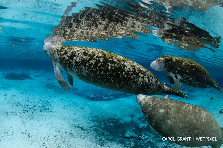 Manatee mother and calf swim over springs.