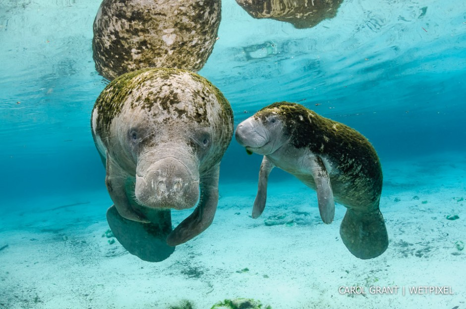 Manatee mother and young female calf.