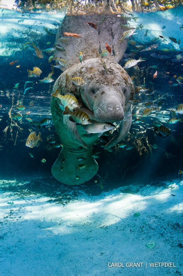 Manatee surrounded by fish.