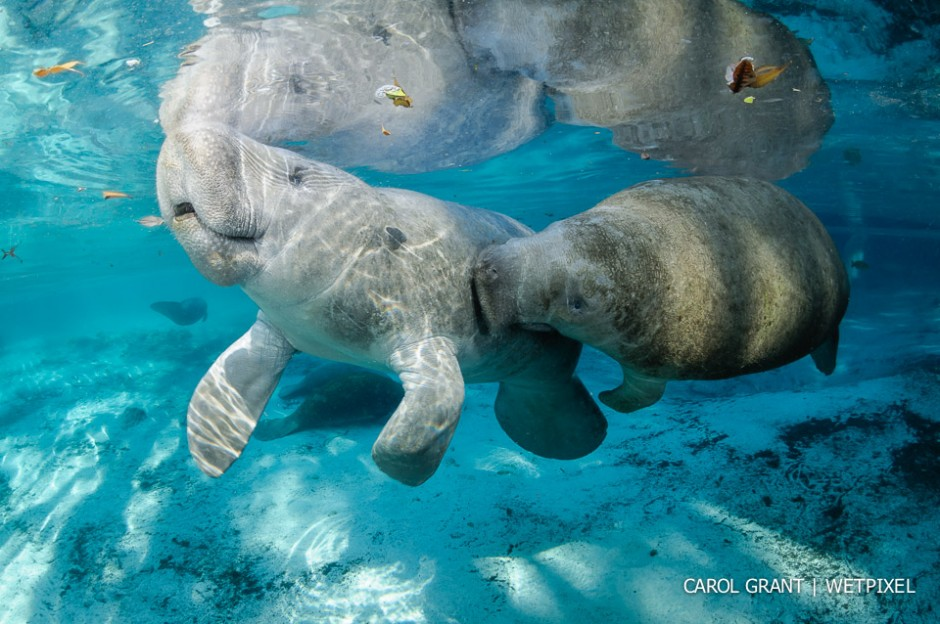 Manatee tickles. Male and female manatee courting or cavorting behavior is fascinating!