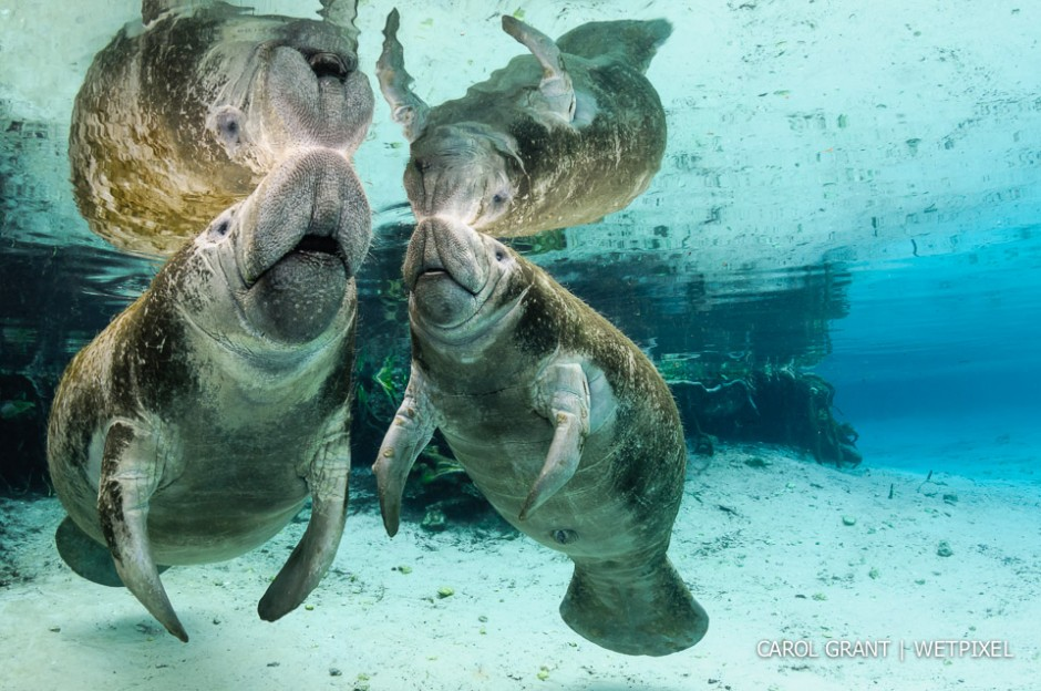 Mother manatee and male calf surface.