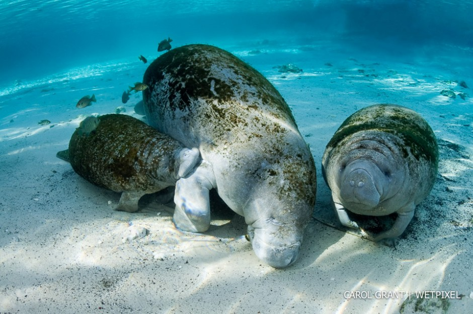 Manatee mother nurses adoptee while her own calf waits its turn.