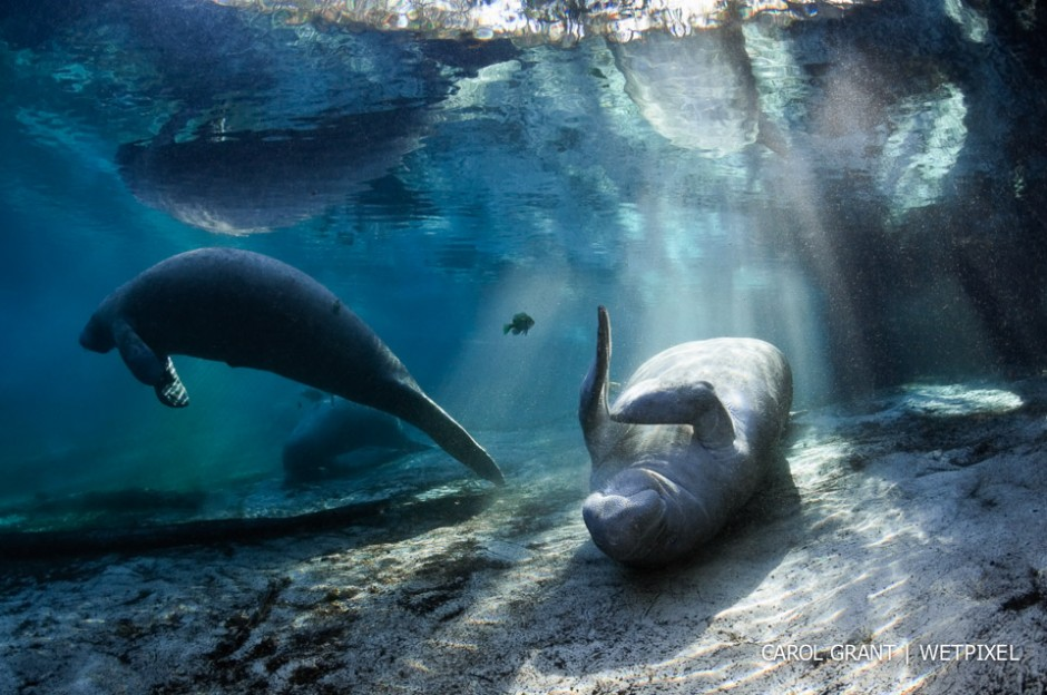 Manatee warming in the light.