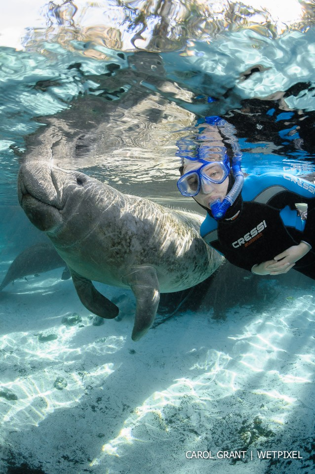 Manatee and snorkeler at surface.