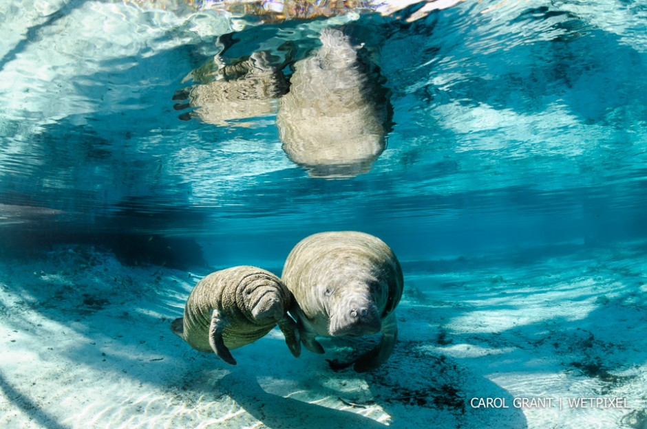 Manatee mother and calf in sunlight.
