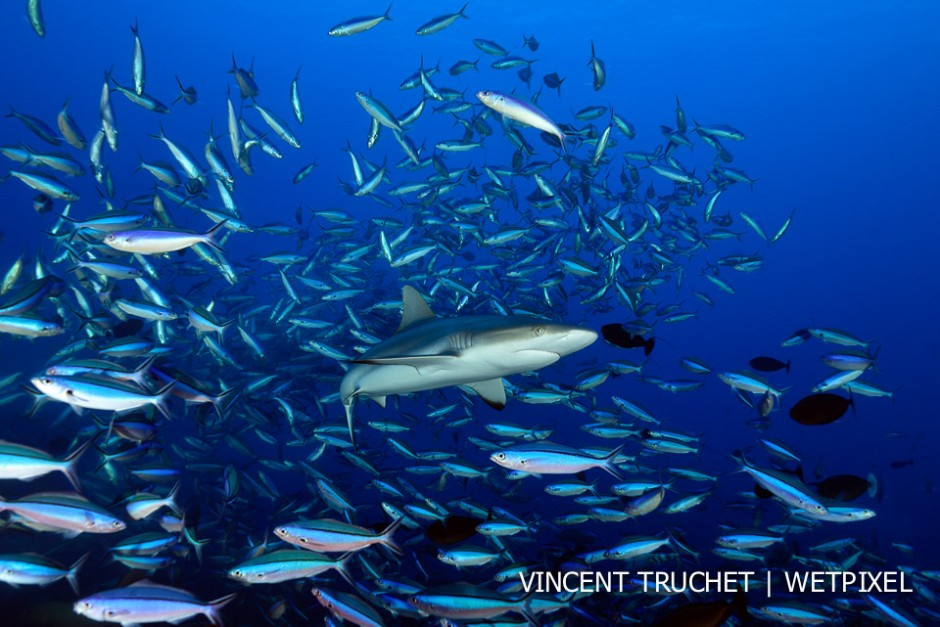 Grey reef shark (*Carcharhinus amblyrhinchos*)I took this picture during the grouper spawning. When the grouper release the eggs, thousands of fusiliers came to eat them. During this chaos the shark was trying to catch some fish.