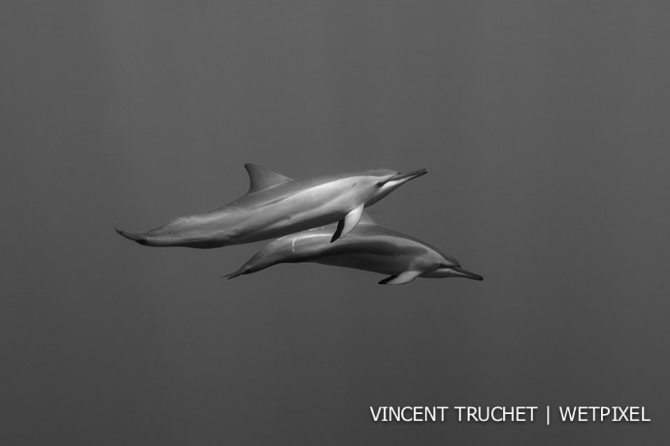 Spinner dolphin (*Stenella longirostris*). Everyone who comes to Polynesia wants to see the bottlenose dolphin of Rangiroa. I have a preference for the spinner, more shy, more difficult to observe, but so nice.