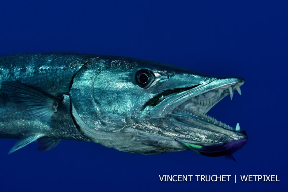 Great barracuda (*Sphyraena barracuda*). A huge barracuda open its mouth to let a cleanerfish do its job.