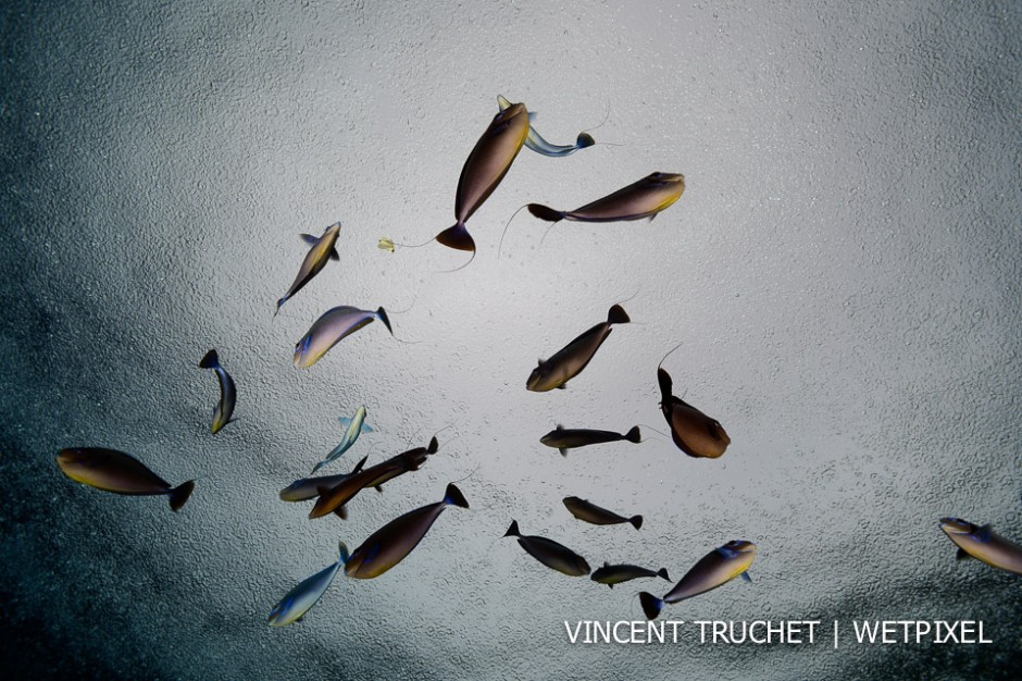 Vlaming's Unicornfish(*Naso vlamingi*). No wind and raining, it's the perfect moment to take a picture of the surface. A school of fish between me and the surface and the game is over!