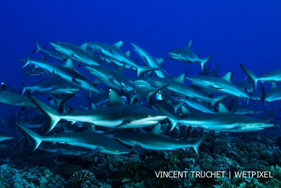 Grey reef shark (*Carcharhinus amblyrhinchos*). A school of grey shark trying to catch a fish hidden in the coral.