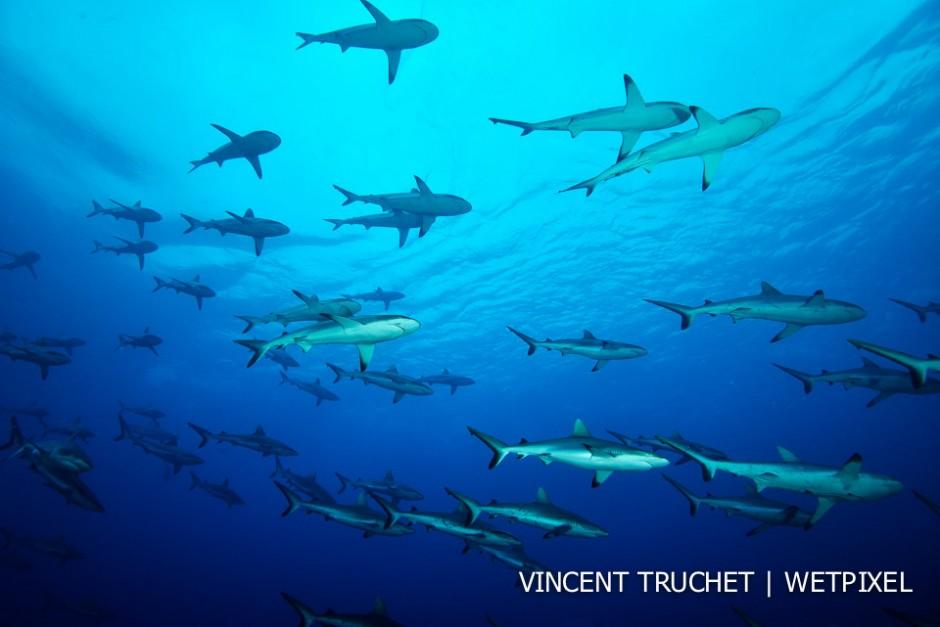 Grey reef shark (*Carcharhinus amblyrhinchos*). A school of grey shark in the blue.
