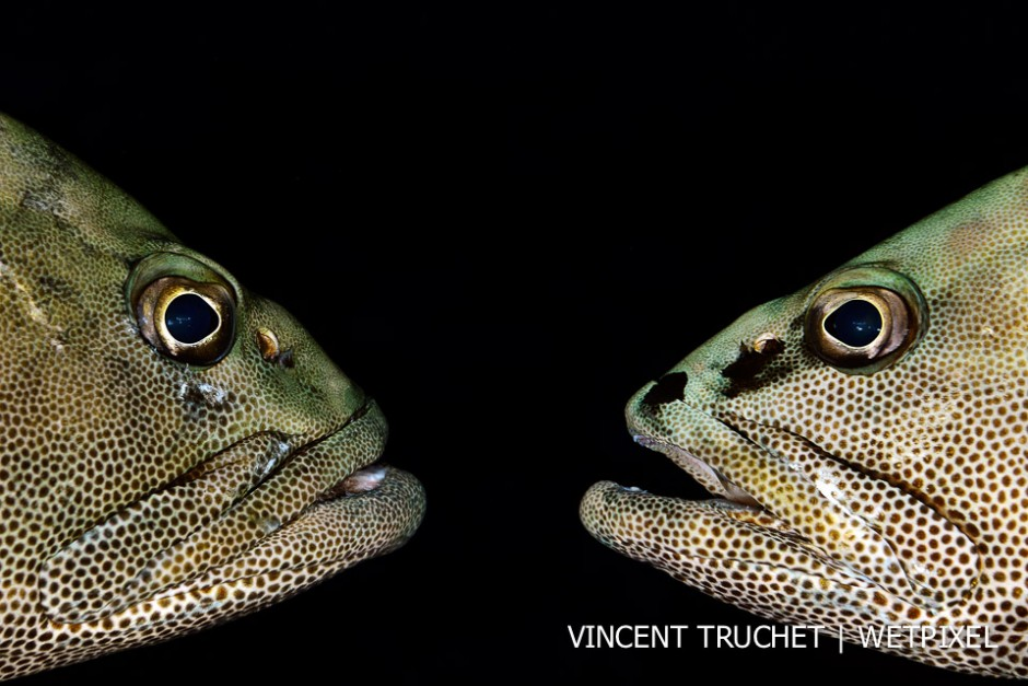 Camouflage grouper (*Epinephelus polyphekadion*). 2 groupers in a face to face provocation during the grouper aggregation.