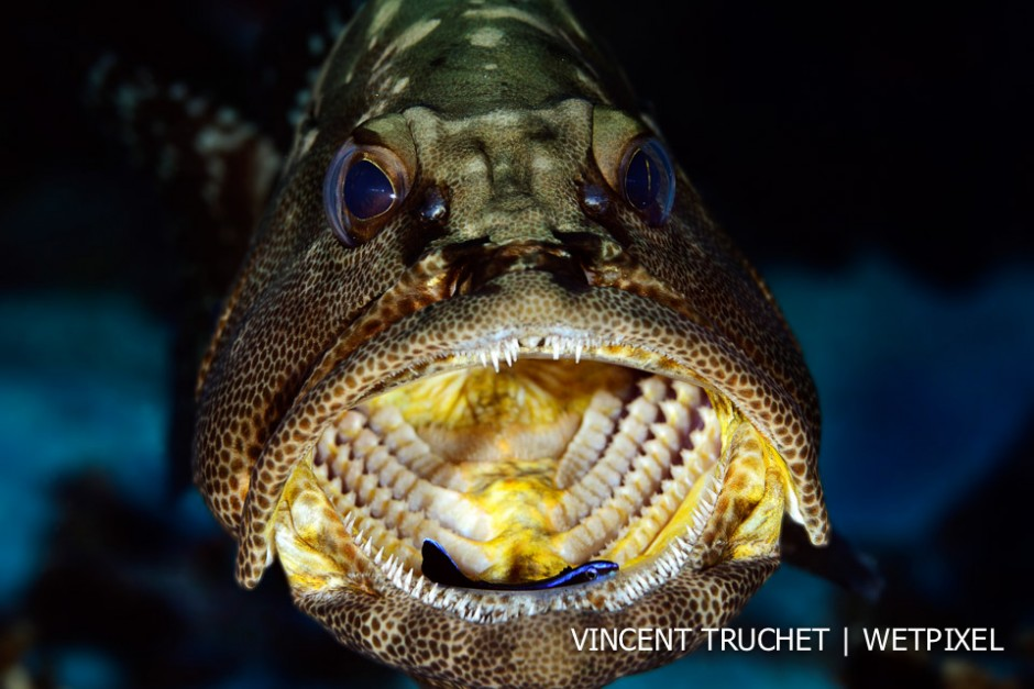 Camouflage grouper (*Epinephelus polyphekadion*). A cleaner fish take a break in the grouper's mouth during cleaning work.