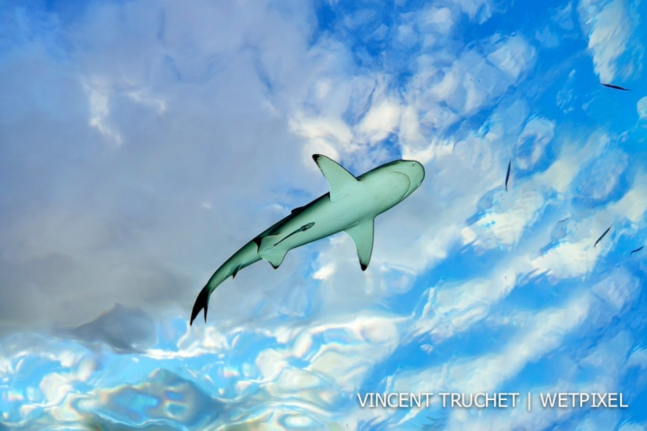 Blacktip shark (*Carcharhinus melanopterus*). At the end of the dive, a blacktip comes between the surface and me. The water was very calm that day so we can see the cloud through the surface.