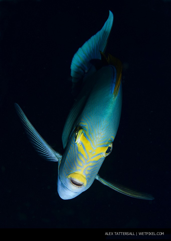 Yellowmask Surgeonfish portrait (*Acanthurus mata*)– Sometimes we all need a dose of fish portrait photography. Nauticam NA-D750, 105mm VR macro.