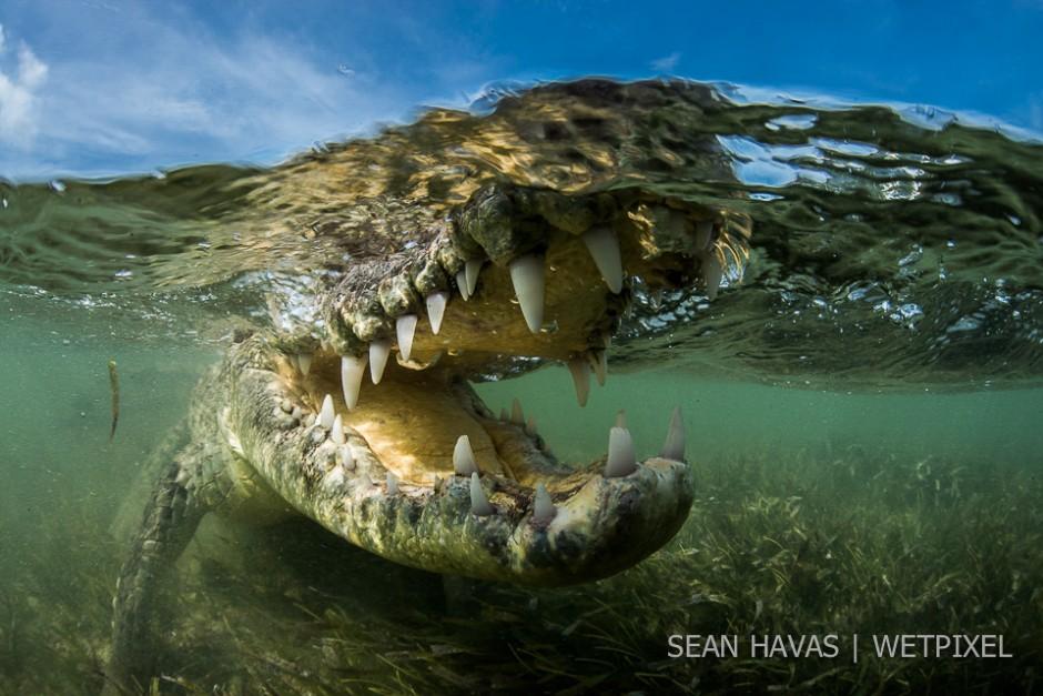 Sean Havas: Mexican Crocodiles.