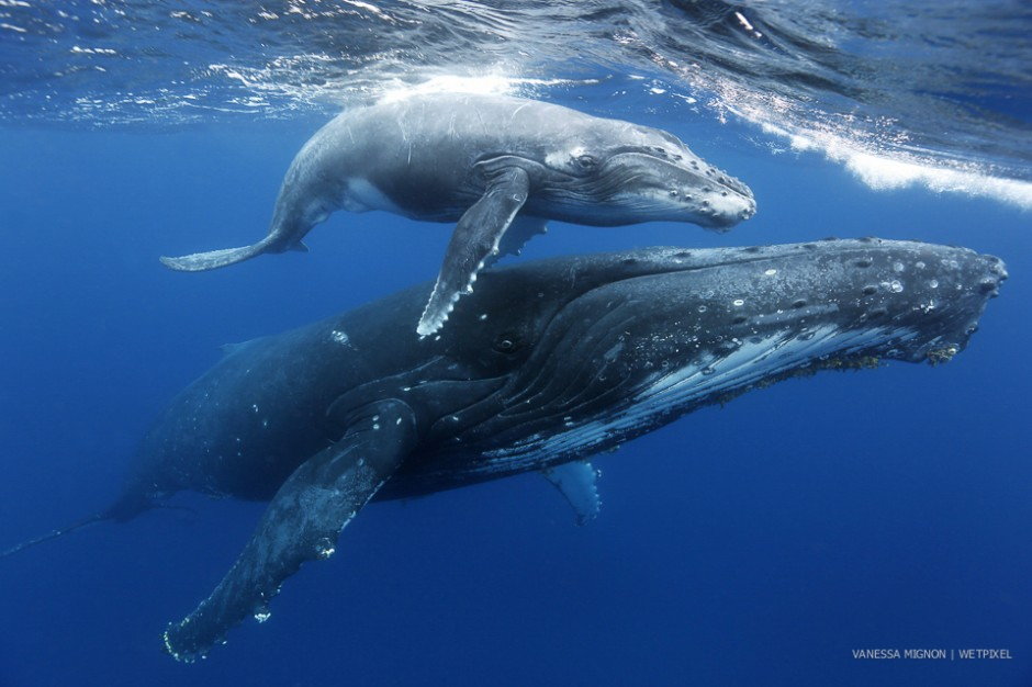 Vanessa Mignon: Humpbacks of Tonga.