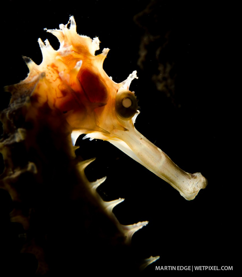 Portrait of a thorny seahorse (*Hippocampus hystrix*) with backlighting.
