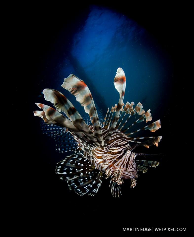 Common lion fish (*Pterois volitans*).