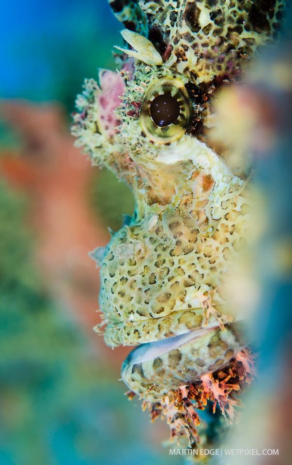 Tassled scorpionfish (*Scorpaenopsis oxycephala*) portrait @ f8.