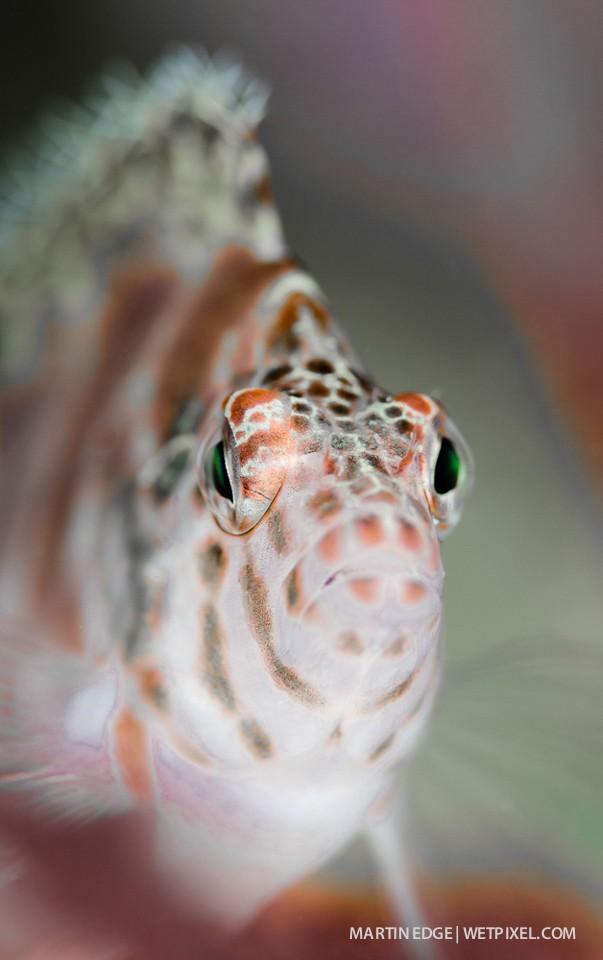 Threadfin hawkfish (*Girrhitichthys aprinus*) portrait @ f8.