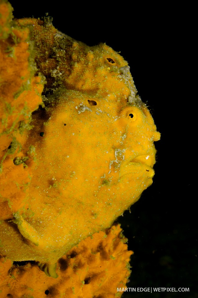 Profile of a painted frogfish (*Antennarius pictus*) @ f27.