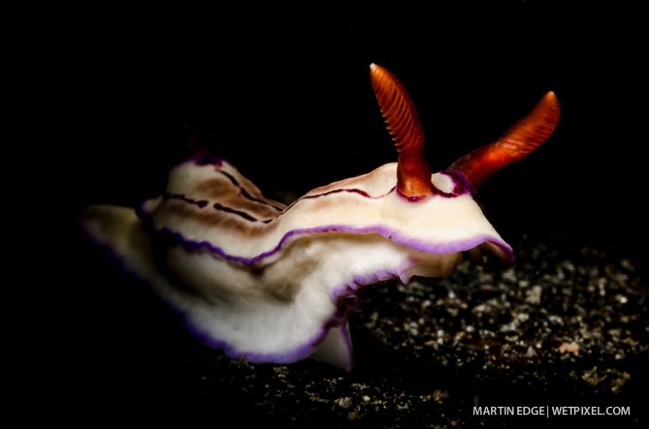 Portrait of *Chromodoris sp* nudibranch.