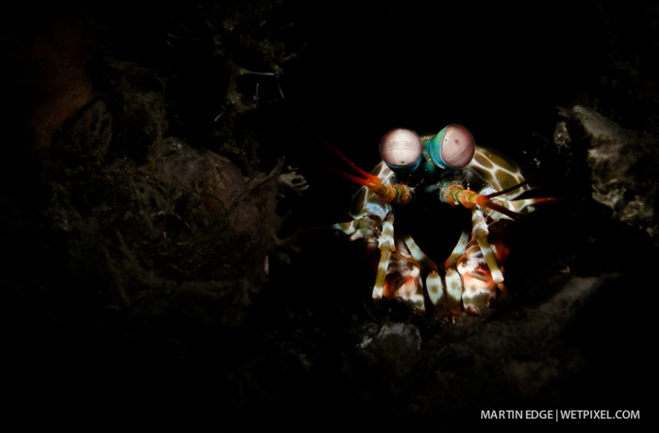 Snooted image of a short beaked mantis shrimp (*Odontodactylus brevirostris*) with fill light.