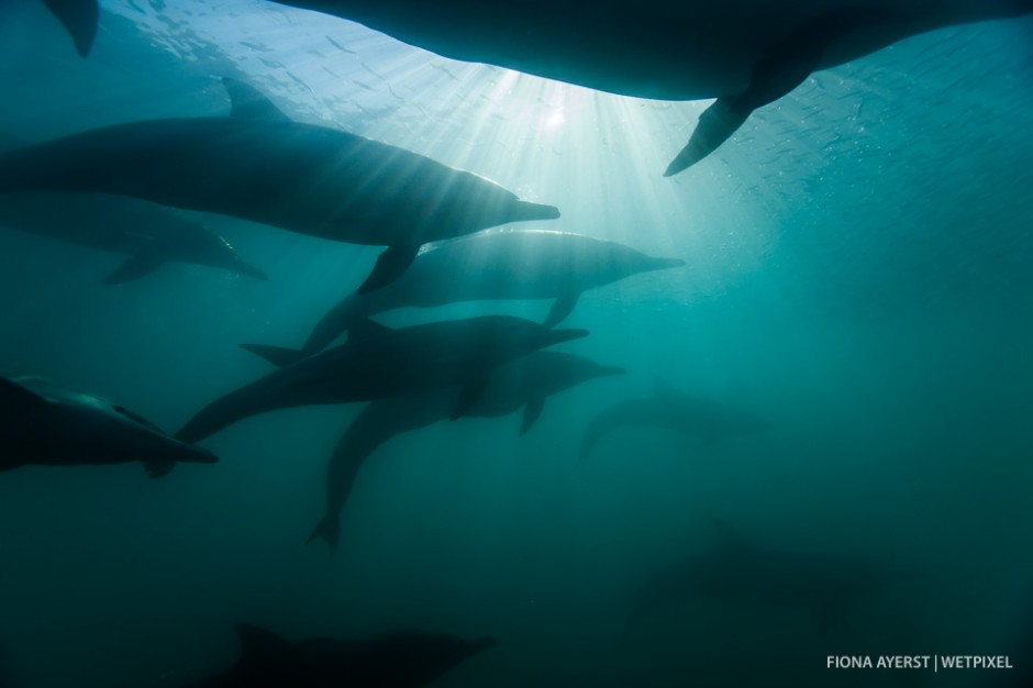 Silhouetted common dolphins  (*Delphinus capensis*) moving fast through the water as they form a tight pack whilst hunting for the sardines
