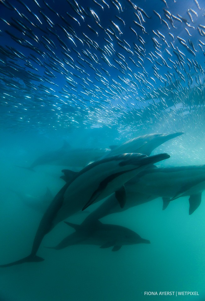A pod of dolphins approached  extremely close to me. It was a split second moment, as the sardines rushed over their heads the dolphins were gone again.