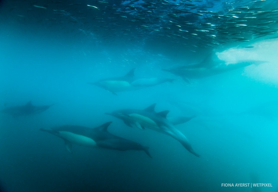 The common dolphins  (*Delphinus capensis*) speed hard and fast after the fish and as a diver it's sometimes hard to know where to look as everything is rushing around you. I think of it as being like caught in the middle of a whirlwind.