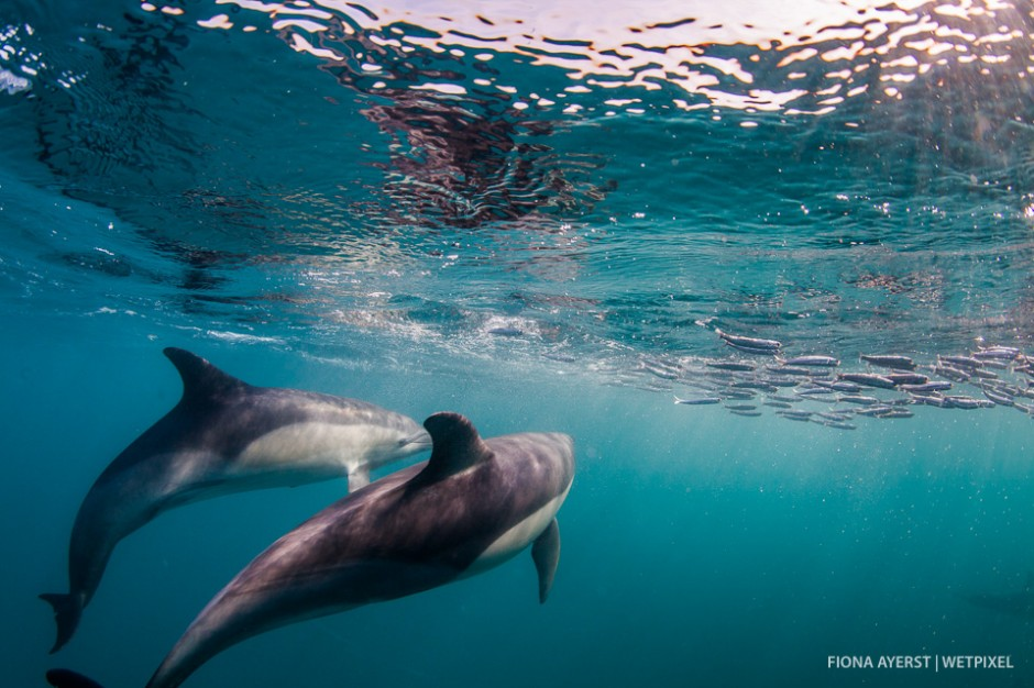 Common dolphins  (*Delphinus capensis*) chasing and herding a bait ball.