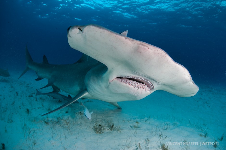 Great hammerhead shark (*Sphyrna mokarran*).