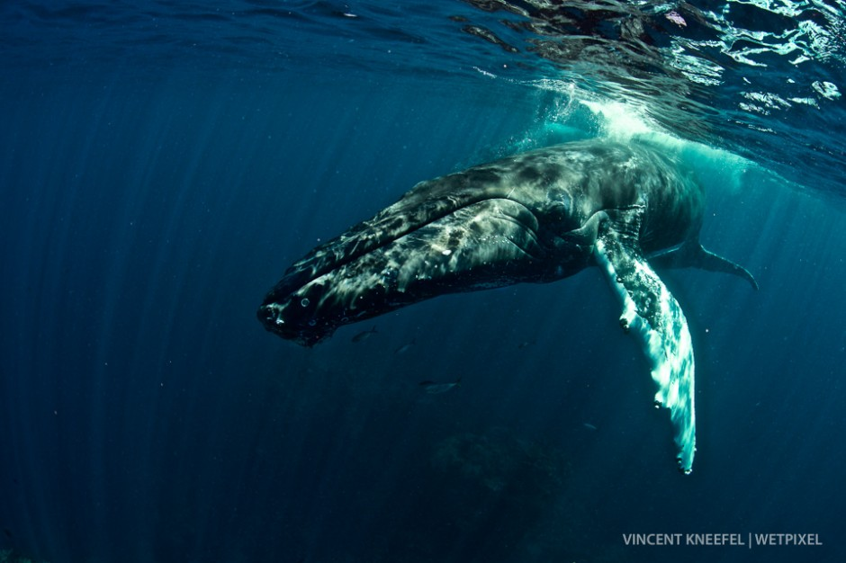 Humpback whale (*Megaptera novaeangliae*).