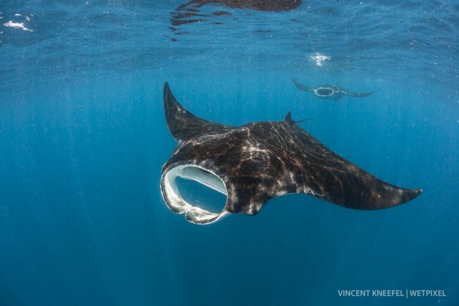 Oceanic manta ray (*Manta birostris*)