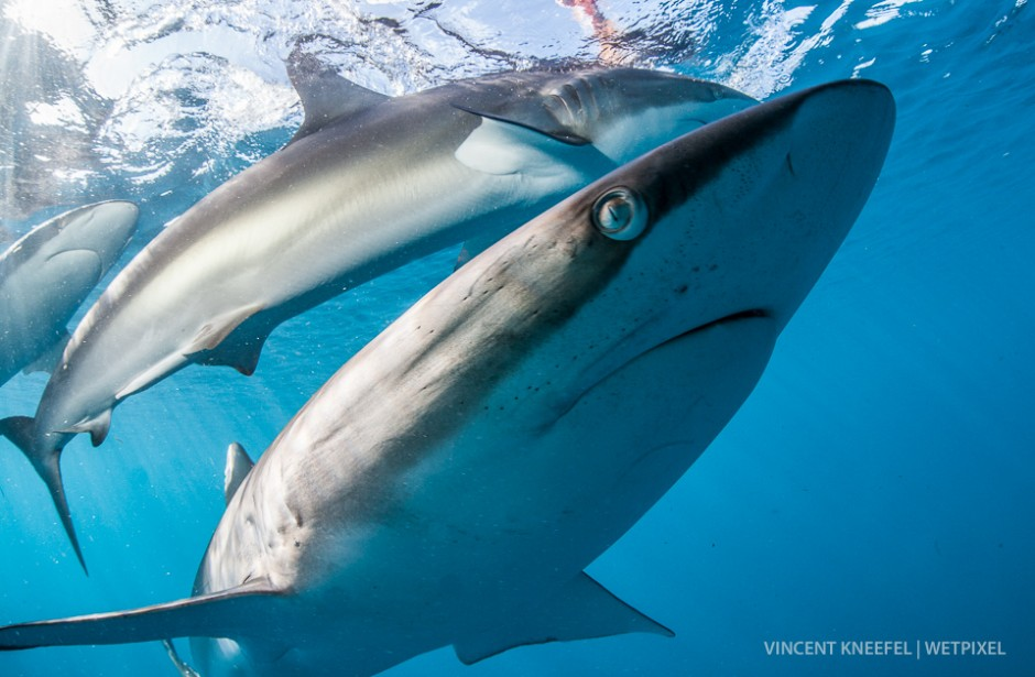Silky shark (*Carcharhinus falciformis*).