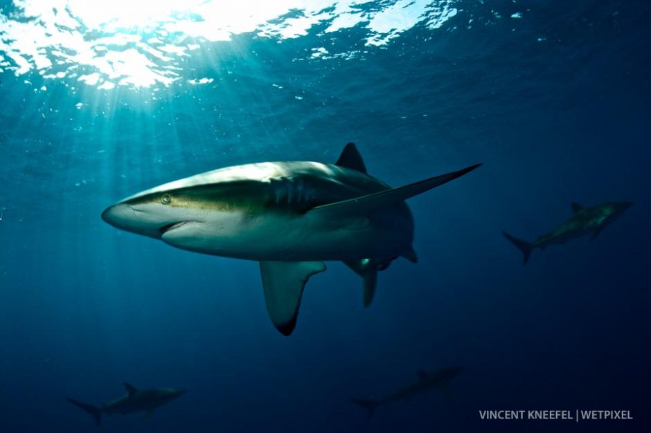 Oceanic sivertip shark (*Carcharhinus albimarginatus*), Cuba.