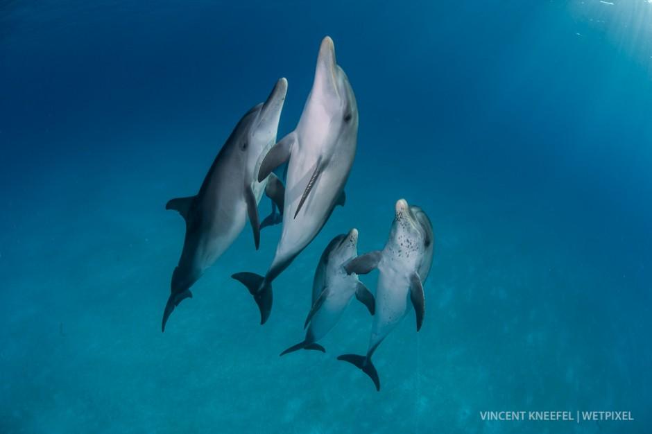 Spotted dolphins (*Stenella attenuata*).
