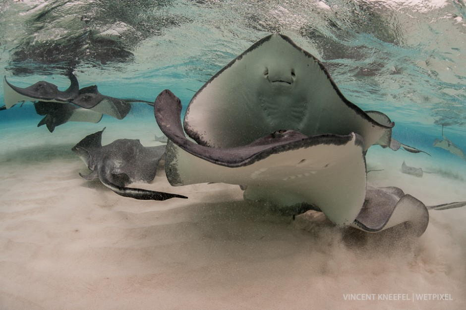 Southern stingrays (*Dasyatis americana*), Cayman Islands.