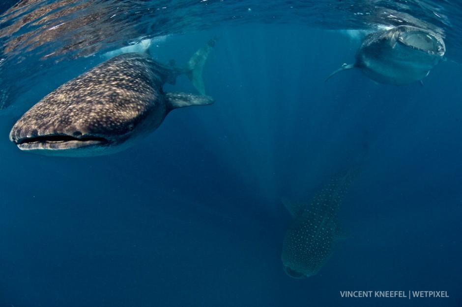 Whale sharks (*Rhincodon typus*), Isla Mujeres, Mexico.
