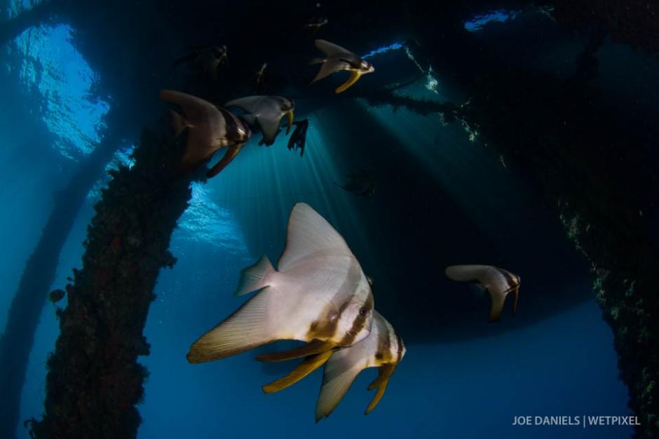 Batfish (*Platax pinnatus*) underneath a jetty.
