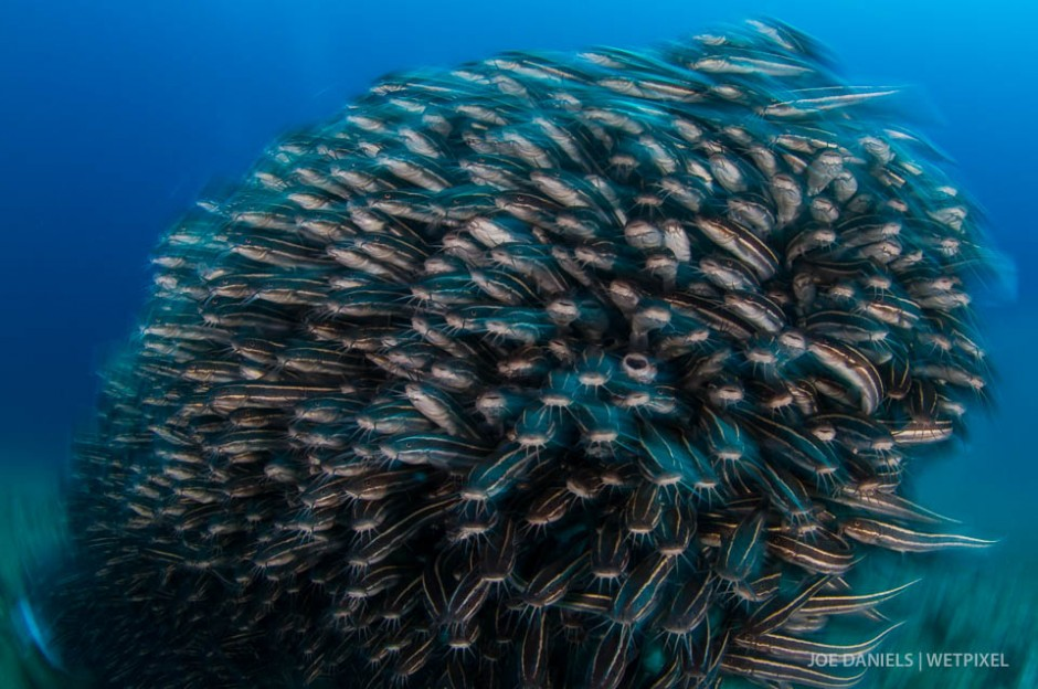 A seething mass of a  school of striped catfish (*Plotosus lineatus*).